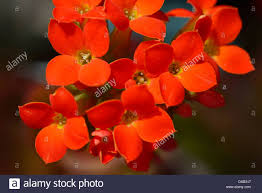cluster of bright orange flowers with petals edged with white of