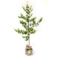 silver birch tree buy from trees direct eco gifts