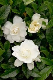 les 28 meilleures images du tableau gardenia sur pinterest