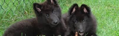 belgian sheepdog breeders new york brags bel royale belgian sheepdogs