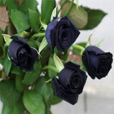 Black Rose Flower Seeds Black Picture More Detailed Picture About Bonsai Flower