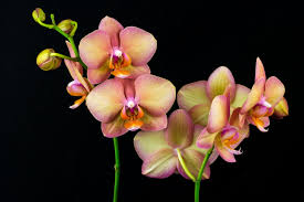 orchid flower orchid flower meaning and symbolism a really interesting read