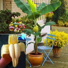 mini banana tree 100 pcs bag rare double potted banana seeds bonsai tree organic