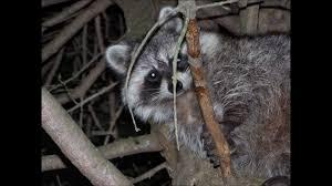 raccoons in my backyard youtube