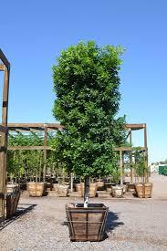 ornamental desert trees by western tree company arizona
