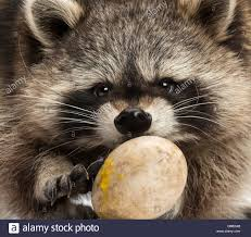 close up of a raccoon eating stock photo royalty free image