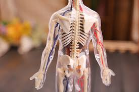 Human Anatomy Full Body Picture New 4d Puzzle Human Anatomy 3d Model Transparent Full Body
