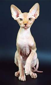 rare cat wallpapers sphynx cat hairless breed information pictures and how to take