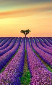 best 25 lavender fields france ideas on pinterest lavender