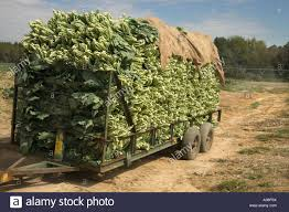 collard greens stock photos u0026 collard greens stock images alamy