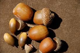 seed of the week cork oaks growing with science