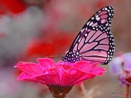 hd pink butterfly wallpapers
