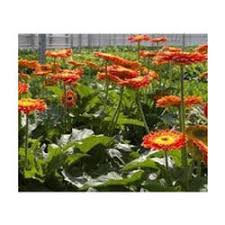 gerbera plant gerbera plant gerbera plant manufacturers suppliers