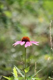 minnesota native plants 84 best minnesota wild flowers images on pinterest wild flowers
