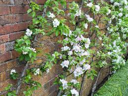 how to plant wall trained fruit hgtv