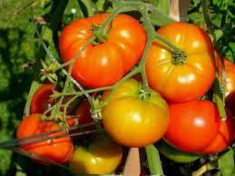 vegetables for an upside down garden tomato garden trends