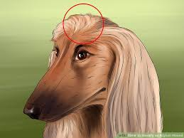 afghan hound good and bad how to identify an afghan hound 12 steps with pictures