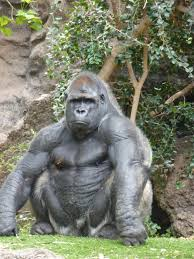 how much do you think a gorilla could bench press bodybuilding