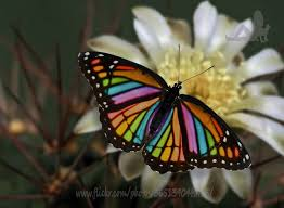 rainbow butterflies stunning even if it isn t