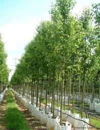 buy bradford pear trees pyrus calleryana chanticleer