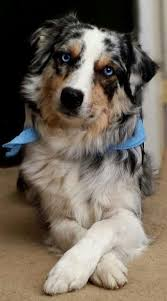 australian shepherd dog puppies best 25 blue merle ideas on pinterest mini aussie shepherd