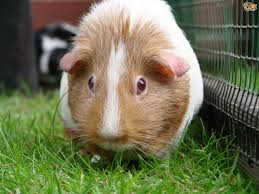 how to treat ringworms in guinea pigs pets4homes