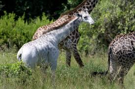 extremely rare white giraffe spotted u2014what would you name her