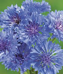 cornflower blue blue boy cornflower seeds and plants annual flower garden at