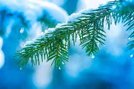 spruce christmas tree branch tree needle snow drops winter close