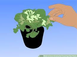 4 ways to grow ornamental flowering kale plants wikihow