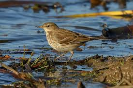 Water Challenge Steps Introducing The Steps Series Water Pipit Rainham Marshes