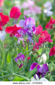 Sweet Pea Images Flower - colourful sweet pea flowers in english garden stock photo royalty