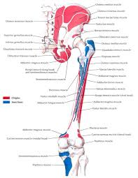 bony attachments of muscles of hip and thigh posterior view jpg