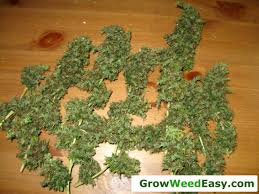 cheap grow lights for weed beginner guide to growing cannabis with cfl lights grow weed easy