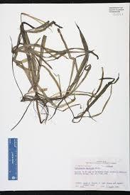 florida native aquatic plants herbarium specimen details isb atlas of florida plants