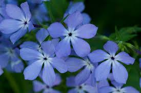 Phlox Flower Flower Wild Blue Phlox 1 C Photograph By John Brueske