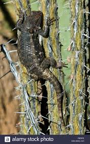 native sonoran desert plants desert spiny lizard sceloporus magister climbing in ocotillo