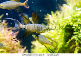 rainbowfish stock images royalty free images u0026 vectors shutterstock