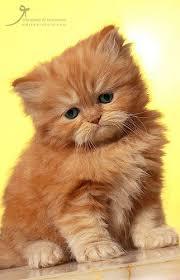 american bobtail cat breeds information orange kittens sad