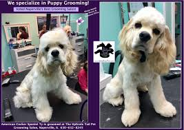 american cocker spaniel grooming at the upscale tail pet grooming