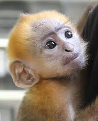 langur monkey zooborns