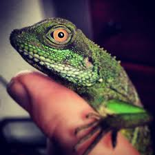 chinese water dragon keepers chameleon forums