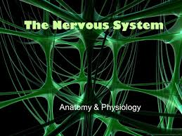 Anatomy And Physiology Nervous System Study Guide The Nervous System Anatomy U0026 Physiology Ppt Download