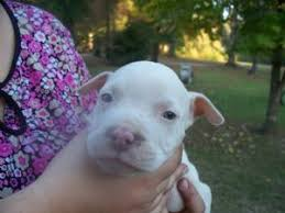 american pitbull terrier puppies for adoption american pit bull terrier puppies for sale