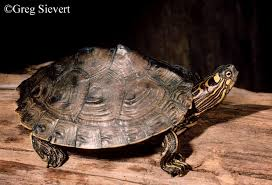 map turtle tennessee watchable wildlife ouachita map turtle