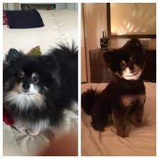 before and after a much needed haircut pomeranians