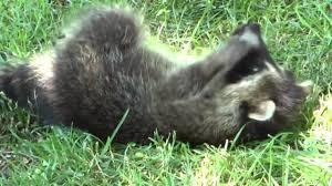 adorable baby raccoon playing in my backyard youtube