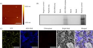 intracellular delivery of proteins via fusion peptides in intact
