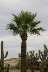 time to trim your mexican fan palms june 15 sonoran tree service