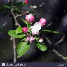 Profusion Flowering Crabapple - crab apple flower buds stock photos u0026 crab apple flower buds stock